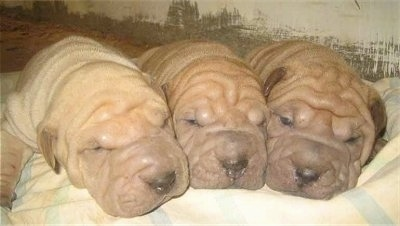 Close up - Three very wrinkly, short haired, Shar-Pei puppies are sleeping in a row on a blanket lined up with their heads touching. They have big heads and black noses.