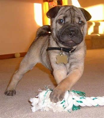 View from the front - A tan with black Shar Pei/Rat Terrier mix puppy is standing on a carpet and its front paws are over a white with green rope toy. Its head is wrinkly and its tail is curled up over its back.