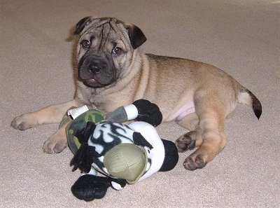 A shorthaired tan with black Shar-Pei/Rat Terrier mix breed puppy is laying ona carpet and in front of it is a green, white and black plush toy. The dog's head is wrinkly and it has extra skin around its shoulder area.