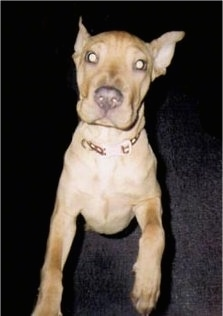 Front view - A tan Shar-Pei puppy is standing up on its hind legs and it is looking up. It has a big nose and pointy perk ears.