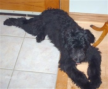 Topdown view of a tall, black Shepadoodle puppy that is laying under a table and its tongue is sticking out.