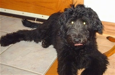 A black Shepadoodle puppy is laying across a tiled floor under a table. It is looking forward and its tongue is sticking out. Its eyes are glowing green.
