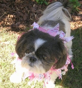 Close up - A brown and white Shih Tzu is standing in the shade under a bush. The dog is wearing a pink lei.