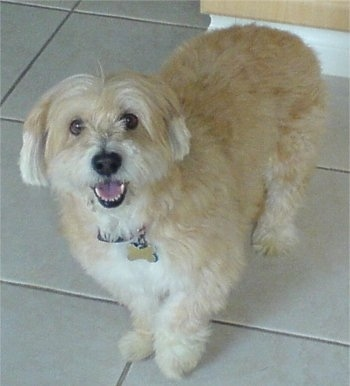 Brandy, the Shorgi (Shih Tzu / Corgi hybrid) at 14 years old