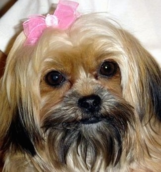 Close up head shot - A long haired, tan with black Shorkie Tzu dog with a pink bow in its hair is looking forward and its head is slightly tilted to the left. It has round dark eyes.