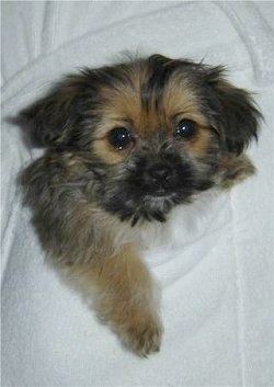 A tiny little furry little black and tan Shorkie Tzu puppy is placed in the pocket of a white robe and it is looking forward.