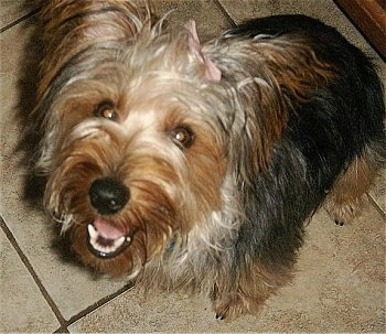 Close up - A black and tan Silky Terrier that has a pink ribbon in its hair,  it is sitting across a tiled floor, its mouth is open, it looks like it is smiling looking up and to the left
