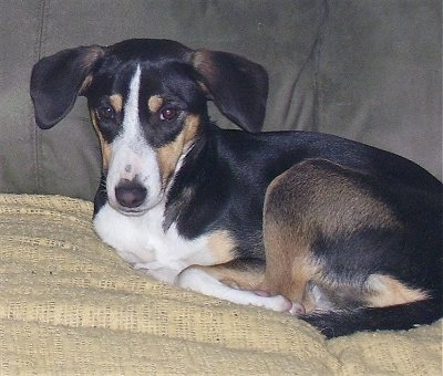 A tricolor black with tan and white Smooth Fox Terrier mix breed dog is laying on a yellow blanket on top of a gray couch.
