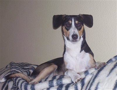 Front side view - A black with tan and white Smooth Fox Terrier mix is laying on a white with black zebra striped blanket on a couch and it is looking forward.
