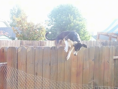 A black with tan and white Smooth Fox Terrier mix breed dog is jumping over a tall wooden privacy fence.