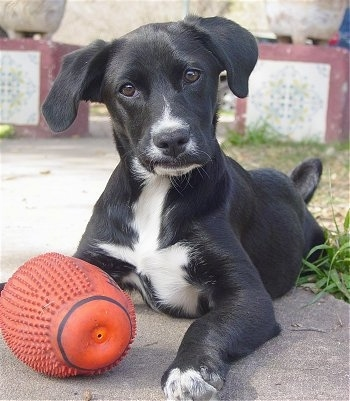 Front view - A black with white Spanador puppy is laying on a concrete walkway, there is a football toy in front of it, it is looking forward and its head is tilted to the left. The dog has a smerk on its face.