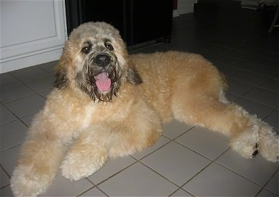 Side view - A thick coated, tan with white and black Saint Berdoodle dog is laying across a white tiled floor, it is looking forward, its mouth is open and it looks like it is smiling. Its body is tan with black on its snout, nose and ends of its ears.