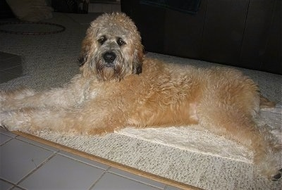 A thick, long coated, tan with white and black Saint Berdoodle is laying across a carpeted surface in a room and it is looking forward.