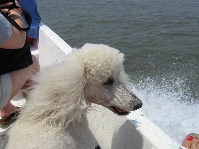The back of a white Standard Poodle dog sitting on a boat looking to the right and its mouth is slightly open. There is a person sitting across from it.