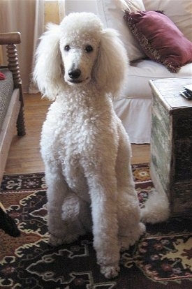 Greta, a full grown Standard Poodle