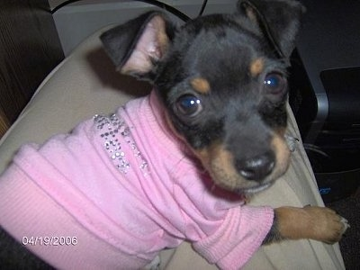 Close up - A black with tan Taco Terrier puppy is laying across a persons leg and it is looking forward. It is wearing a pink shirt. It has wide round eyes, a black nose and ears that fold over to the front.