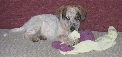 Side view - The right side of a white with brown and black Texas Heeler puppy that is laying across a carpet and there is a couch behind it. It has a blanket and a purple plush doll under its front paws. Its ears are hanging down to the sides.