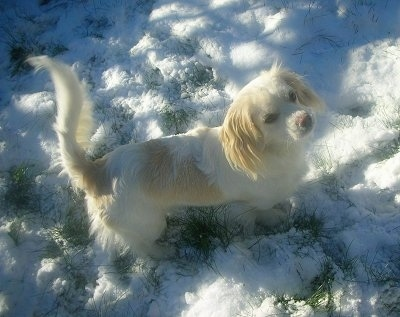 Top down view of a white with tan Tibalier that is standing in snow, it is looking up and forward. The dog's tail is up in the air.