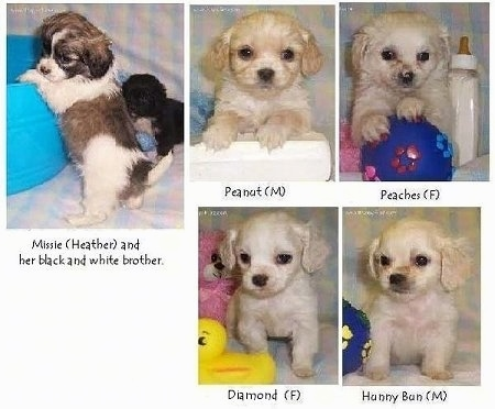 A compilation of photos that display five Tibalier puppies sitting on a backdrop and there are toys and items around it.