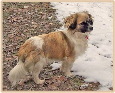 The back right side of a tan and white with black Tibalier dog standing in grass and it is looking to the right. It is stopped in front of a line of snow. It has a thick coat and long hair on its ears.