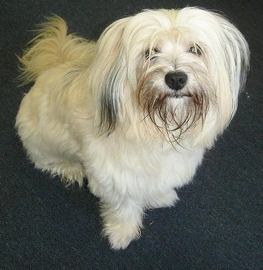"In loving memory ""Molly"", the Tibetan Terrier"