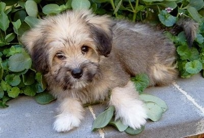 Tibetan Terrier Puppies on Molly  The Tibetan Terrier Puppy At Months Old