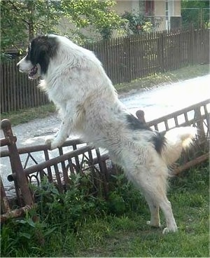The left side of a white with black Tornjak that is jumped up against a small metal wall and it is looking to the left. Its mouth is slightly open and it looks like it is smiling. The dog is an extra large breed with a thick coat.