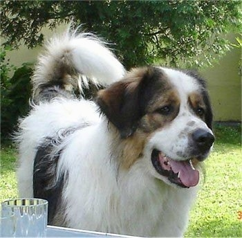 Close up front view - A huge, large breed, thick coated, white with black and tan Tornjak dog is standing in a yard in front of a small wall and it is looking to the right. Its mouth is open and its tongue is sticking out. It has a big black nose and its tail is curled up over its back.