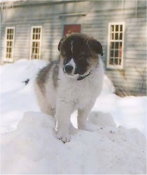 A fluffy, thick coated, white with tan and black Tornjak puppy is standing on a pile of snow. It is looking down and to the left. There is a house behind it.