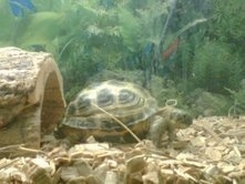Right Profile - A dark green and light green Russian tortoise is standing at the bottom of an aquarium and it is facing the right.