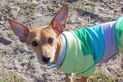 Close up - The front left side of a tan Toy Rat Doxie that is wearing a colorful t-shirt standing on sandy, patchy grass looking forward. The dog has a short coat, round brown eyes, a black nose and very large perk ears that are set wide apart.