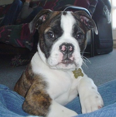 Winston, the Valley Bulldog puppy posing at almost 3 months old