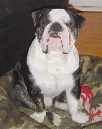 A black with white Victorian Bulldog is sitting in a camo dog bed, it is looking forward and there is a red and white rope toy to the right of it. The dog has a big black noes, a large head, a very wide chest, small v-shaped ears and a lot of extra skin hanging from its lips.