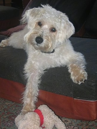 Ted (aka Teddy) the Wel-Chon at 10 months old (Bichon / Welsh Terrier Hybrid)