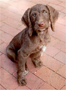 The front right side of a brown with a tuft of white Weimardoodle puppy that is sitting across a brick surface. Its head is tilted back and it is looking forward. The dog has a brown nose and wide round green eyes.