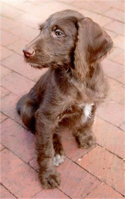 A wavy coated brown with a tuft of white Weimardoodle puppy that is sitting across a brick surface and it is looking to the left. The dog has a wiry looking coat with a brown nose and round green eyes.