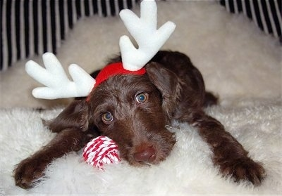 A dark brown Weimardoodle puppy is laying down on a fluffy white rug. It has a red and white ball next to it and a pair of antlers on its head.