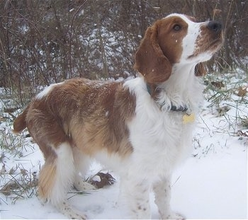 Welsh Springer Spaniel Dog Breed Information and Pictures