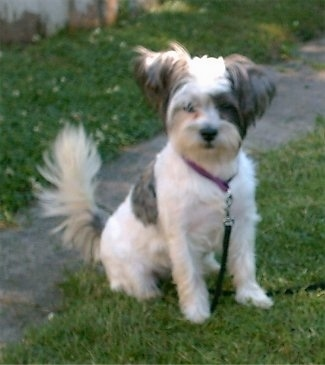 Lady, the Westie / Shih Tzu hybrid (Weshi) at 8 months old