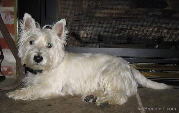 Brody the adult West Highland White Terrier
