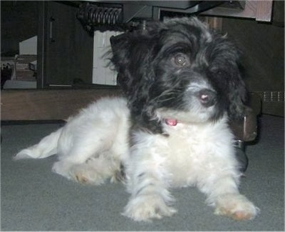 A white with black Westiepoo is laying on a carpet and it is looking to the right. It has pink pigment on its black nose and longer hair on its head with wide round dark eyes.