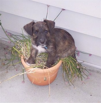 Top down view of a brown with black West of Argyll Terrier puppy that is laying in a potted plant on a porch. It has v-shaped ears that fold over to the front.