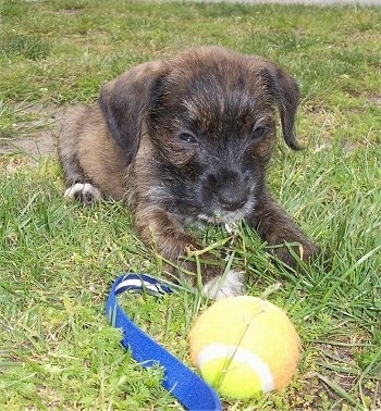 A small young brown with black West of Argyll Terrier is laying in a field and it is looking down at a tennis ball in front of it. The dog's eyes are squinty and it has a black nose and dark eyes.