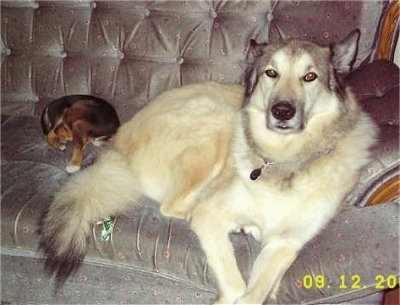 A very large tan and white with black Wolamute is laying across a couch and it is looking forward. There is a smaller dog laying down next to it.