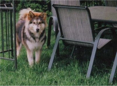 A fluffy, thick coated, brown with black and white Wolamute is standing in a yard next to an outside table.