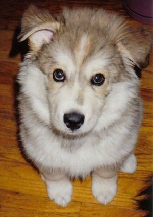 the Wolamute as a young puppy (Alaskan Malamute / Timber Wolf hybrid