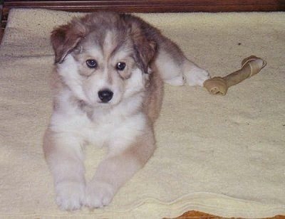 A brown with white Wolamute puppy is laying on a blanket and to the right of it is a rawhide. The dog has small ears that hang down to the sides and a thick, soft looking coat.