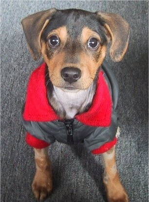 Top down view of a black and brown Xoloitzcuintli puppy that is sitting on a carpet and it is wearing a grey with red jacket. The puppy has a black and tan short soft fur, a black nose and large round dark eyes.