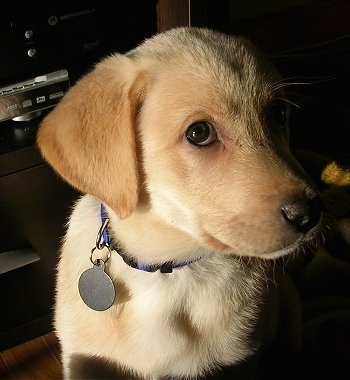 Close Up upper body shot - A yellow Labrador Retriever puppy is sitting in front of an entertainment stand looking to the left.