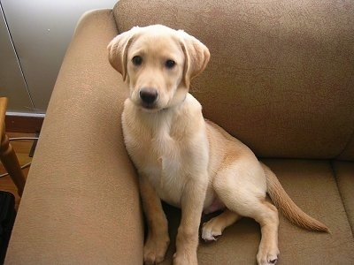 A yellow Labrador Retriever puppy is sitting against the back of a tan couch